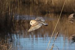 0M2A3767 Barn Owl (kevin_livesey) Tags: tyto alba barn owl wwt martin mere wetlands nature wildlife bird birdwatching