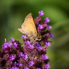 Sachem Skipper (jciv) Tags: butterfly flower skipper arlington virginia unitedstates us insect file:name=dsc00358
