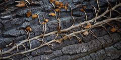 Tree Bork and some dead leaves (Traveller_40) Tags: baum bork efeu möven nature pattern rinde tree tutzing walkwithfriends closeup dead deadleaves flora green ground leaves rough 52 52weeks 53 522019