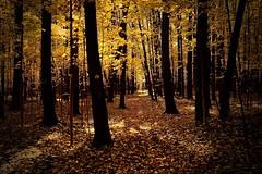 Golden autumn (prokhorov.victor) Tags: осень природа пейзаж лес деревья