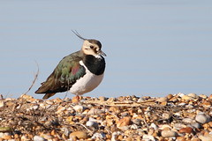 Lapwing-7D2_2566-001 (cherrytree54) Tags: lapwing canon sigma 7d 150600 rye harbour east sussex