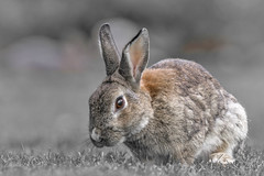 Bunny is all ears (passion photos animalières) Tags: lapin canmore alberta