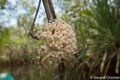 Hoya (GeeC) Tags: gentianales naturetours cambodia tracheophyta nature plantae marshwalkandstreamkayak kohkongprovince asteranae apocynaceae magnoliopsida tatai hoya