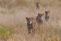 Mother and Cubs (Hector16) Tags: africa kenya samburuculture samburunationalpark samburu easternprovince ke
