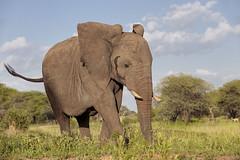 Just ambling along (ms2thdr) Tags: africa safari tanzania wildeye elephant tarangire tarangirenationalpark