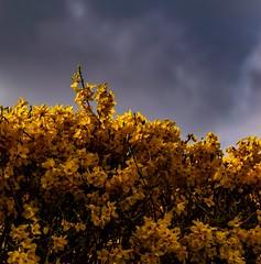 Flowers (akatsoulis) Tags: clouds d5300 nikon blossom garden britain oxford greysky landscape yellow flowers