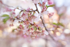 Fading (suzanne~) Tags: cherryblossom flower blossom pink tree branch spring sol45 lensbaby