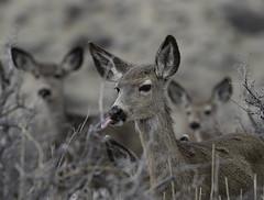 Eastern Sierra Mule Deer (raineys) Tags: easternsierras2019 deer animal nature wildlife california specanimal