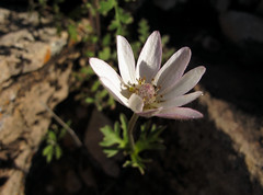 Secretive (zoniedude1) Tags: arizona desert springinthedesert wildflowers flora white flower tuberanemone desertanemone anemonetuberosa ranunculaceae perennial sonorandesert desertbloom2019 secretive native beauty flowers desertinbloom thespringbloom gilacounty tontonationalforest tontobasin desertspring2019 3200ftelevation inthewild armergulchexpedition2019 outdoors hiking exploration discovery closeup detail macro southwest nature canonpowershotg12 pspx19 zoniedude1 earthnaturelife