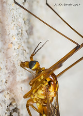 2X Crane Fly Stack (strjustin) Tags: cranefly insect bug macro focusstacking
