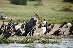 Marabou Stork (pbr42) Tags: africa uganda queenelizabethnationalpark nationalpark hdr water lake crater bird h2o kazinga kazingachannel animal nature marabou stork maraboustork