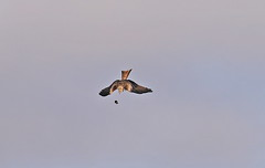 Red Kite (acerman17) Tags: wildlife nature flying flight diving prey raptor sky redkite bird