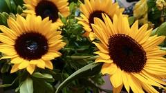 Feliz 2019 ! (Francisco Aragão) Tags: franciscoaragão flores girassol df brasil brasilia cores flowers sonyxperiaxzpremium xperia cellphone fotografiadecelular sunflower brazil centrooeste planaltocentral capitaldobrasil