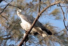 IMG_1286 White-bellied Sea Eagle (Haliaeetus leucogaster) (vlupadya) Tags: greatnature bird animal aves fauna indianbirds whitebellied sea eagle haliaeetus kundapura karnataka