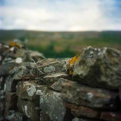 Jagged Edge (BunnySafari) Tags: yashica124g filmcamera film reeth yorkshire kodakportra160 theherriotway stonewall rustedmetal