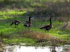 Geese (Kelson) Tags: pond birds marsh reeds california madronamarsh torrance hike nature southbay
