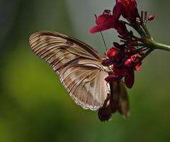 Just Gonna Wing It Today (ACEZandEIGHTZ) Tags: butterfly wing detail nikon d3200 macro closeup orange iulia bokeh flower red jatropha saariysqualitypictures coth5 sunrays5