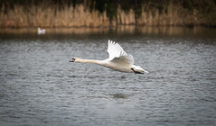 Swan In Flight (aaron_nikon_photography) Tags: swan swans birdsinflight park parklake lake lightroom6 newyearsday nikon nikond810 nikon200500mmf56 nature