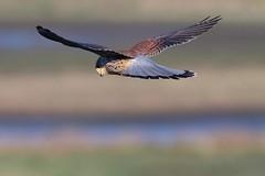 Kestrel (redmanian) Tags: kestrel bird birdofprey ianredman