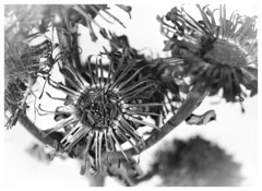 Some type of plant (Eklandet) Tags: snow winter flower dried plant seeds monochrome monochromephotography bw svartvitt black white blackandwhite blackandwhitephotography blackandwhitephoto blackandwhitephotonatur