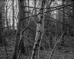 Trees and Branches. Walker Titan SF with Rodenstock 150mm, 4 sec @ f32, Delta 100 in HC110G (Jonathan Carr) Tags: tree branch woodland blackandwhite monochrome largeformat 4x5 rural northeast landscape ilforddelta100 walkertitansf