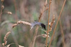 Light as a..... (Lenny Bander) Tags: feather grass bird fallen lost summer australia