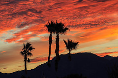 Sunrise With Silhouetted Palm Trees (http://fineartamerica.com/profiles/robert-bales.ht) Tags: arizona foothills haybales land palmtree people photo places plants scenic states sunrisesunset sunsetorsunrise sunrise sunset redsky twilight yellow clouds landscape spectacular desertphotography panoramic surreal sublime sonora inspirational path morning silhouette sunrisephotography red sonoradesert robertbales desertecosystem desert nature sky yuma gilamountains dusk dawn scene sunlight colorful view tranquil vibrant outdoor black beauty