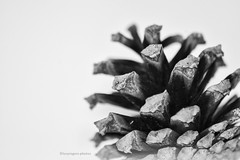 Black & White (lucyrogersphotography) Tags: macrolucyrogersnaturestilllife pinecone pine cone blackandwhite monochrome