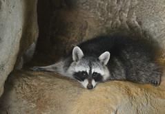 Raccoon (Procyon lotor) (Seventh Heaven Photography) Tags: raccoon procyonlotor procyon lotor animal mammal nikond3200 racoon procyonidae omnivorous nocturnal emirates park zoo abu dhabi uae united arab