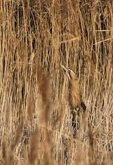 Bittern_5490_ (marsh and moor) Tags: nikon d850 wildlife nature bird bittern rspbdungeness