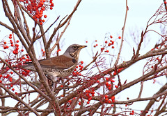 Fieldfare - Michael Bird (Michael R Bird) Tags: fieldfare michaelbird birds loughborough canon tamron g2 sp 150600mm silverton road red berries park