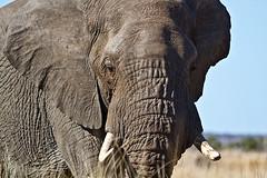 Loxodonta africana (gastonCc) Tags: kruger parquenacionalkruger sudafrica elefante elephant elefanteafricano africanbushelephant loxodontaafricana