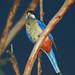 Northern Rosella - Nitmiluk National Park (Katherine Gorge), Northern Territory, Australia..
