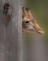 Giraffe (Toledo 22) Tags: pflanzenfresser fell giraffa säugetier savanne afrika steppenbewohner tier rotschildgiraffe paarhufer animal giraffe steppe