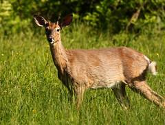 Buck (Diane Marshman) Tags: whitetail deer buck male large animal brown black fur white tail antlers grass field trees pa pennsylvania nature wildlife
