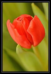 """Radiant Tulip..."" (NikonShutterBug1) Tags: nikond7100 nature spe smartphotoeditor closeup macro flower flora bokeh tokina100mm red tulip"