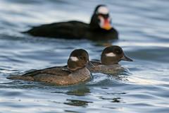 Bufflehead (Alan Gutsell) Tags: bufflehead duck waterfowl sanfrancisco california nature wildlife waterbirds ponds lake water alan birds