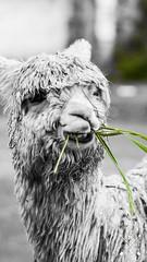 Llama - Cusco, Peru (hugoizq89) Tags: food peru leaf alpaca cuzco cusco llama