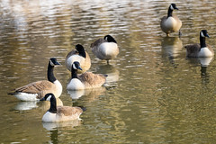 Goose Party (Eric Tischler) Tags: rocky river ohio metroparks water canada geese