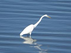 Monterey (Flickred!) Tags: monterey whiteheron bird