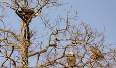 Bald Eagles having a conversation (jmfuscophotos) Tags: americanbaldeagle baldeagle birdofprey nature bird birds newyork wildlife westchestercounty eagle raptor ny
