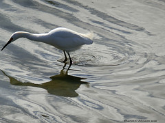 Just a Shadow of Myself - in Explore... an honor! (Sharon C Johnson) Tags: egret shadow belmontslough sanmateocounty northernca sharoncjohnsonphotography coth coth5