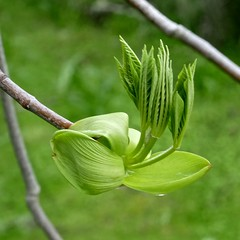 Aesculus californica, CALIFORNIA BUCKEYE (openspacer) Tags: aesculus buckeye jasperridgebiologicalpreserve jrbp leaf sapindaceae tree