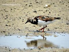DSC04069 Ruddy Turnstone (Arenaria interpres) (vlupadya) Tags: greatnature animal aves fauna indianbirds ruddy turnstone arenaria kundapura karnataka