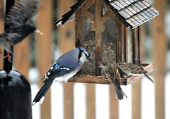 Incoming - birding frenzy (karma (Karen)) Tags: baltimore maryland home backyard birds feeders bluejay dof bokeh fences hff topf25