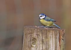 Blue Tit - Michael Bird (Just call me Doc) Tags: bluetit smallbird tits posts attenborughnaturereserve nottingham nottinghamshire yellow blur canon tamron g2 6d 150600mm