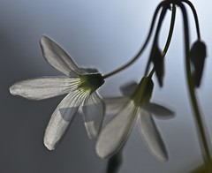 Backlit Blossoms (✿✿Jo Zimny Photos✿✿) Tags: lookingcloseonfriday backlit backlight blossoms oxalis white flowers inbloom shamrock stems petals buds