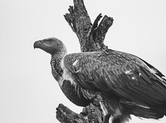 Devouring death (EpicIvo) Tags: ifttt 500px vulture animal nature south africa devouring death staring sky point view tree bird wildlife scavenger beak black white inspiration