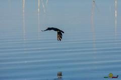 A-LUR_1997 (OrNeSsInA) Tags: ornessina trasimeno lago byrd natura nature aironi umbria itali italia