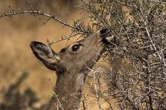 Browsing Doe (Brown Acres Mark) Tags: blacktaileddeer odocoileushemionuscolumbianus doe browsing cascademountains jacksoncounty oregon usa markheatherington